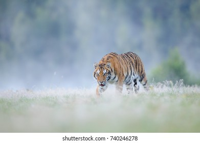 Closeup hunting siberian tiger