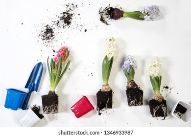 Closeup of hyacinths with double flowers, bulb and roots, isolated on white background.