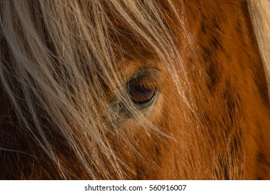 Closeup of an Icelandic horse, Reykholt, Golden Circle, Iceland