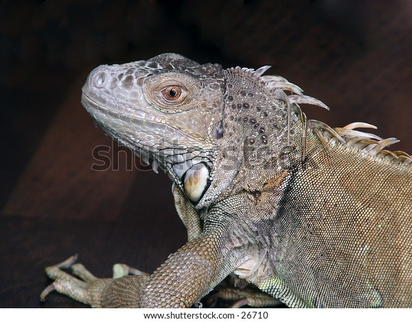 Closeup of an Iguana against a dark background