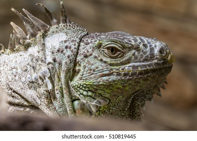 Closeup of an iguana reptile face