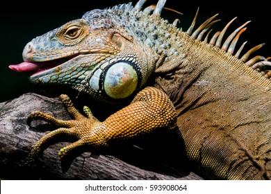 Closeup Iguana Showing Tongue