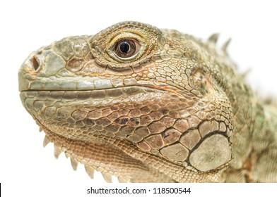 Close-up of Iguana's head on white background.