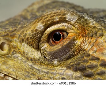 Close-up image of Bearded Dragon looking