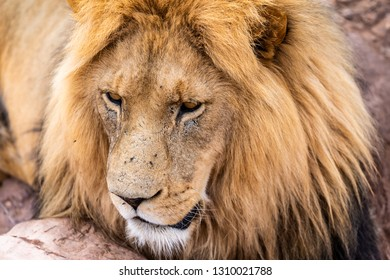 Closeup Image of a beautiful lion resting and looking around