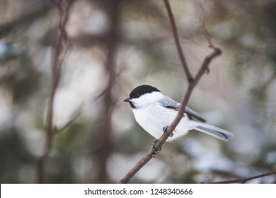 Close-up Image of beautiful marsh tit bird sitting on the branch in the winter forest.