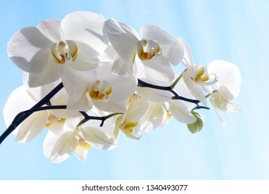 Closeup image of a beautiful White Orchid Flower Phalaenopsis Amabilis with blue sky copyspace area for botanical floral designs and backgrounds