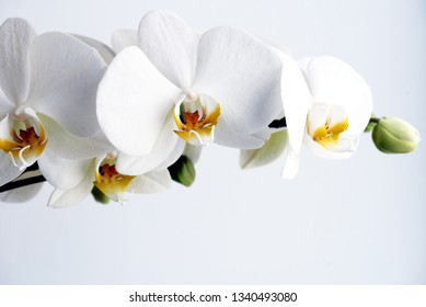 Closeup image of a beautiful White Orchid Flower Phalaenopsis Amabilis with copyspace area for botanical floral designs and backgrounds