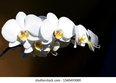 Closeup image of a beautiful White Orchid Flower Phalaenopsis Amabilis with black copyspace area for botanical floral designs and backgrounds