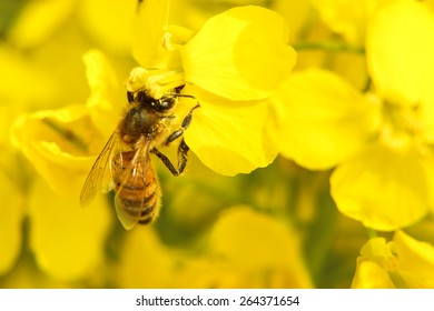 Closeup image of bee on the yellow rape flower.