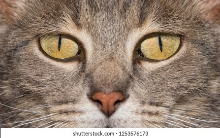 Close-up image of a blue tabby cat's eyes, with an intense stare at the viewer