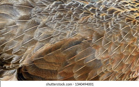 Closeup image of brown chicken feathers in natural sunlight