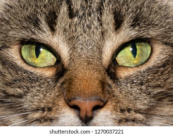 Close-up image of a brown tabby cat's eyes, with an serious stare at the viewer