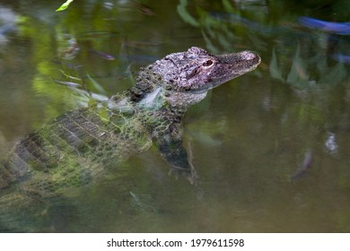 The closeup image of Chinese alligator (Alligator sinensis) in the water.  A critically endangered crocodile endemic to China.  Dark gray or black in color with a fully armored body.