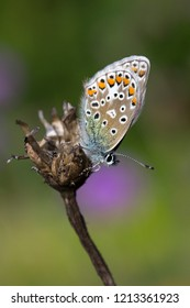 Closeup image of a Common Blue Butterfly (Polyommatus icarus)