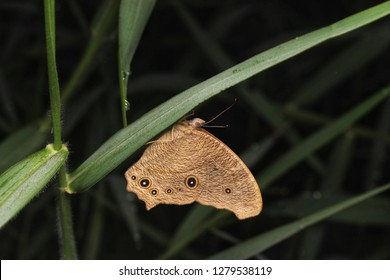 Closeup image of common bush brown butterfly - Mycalesis perseus in nature.