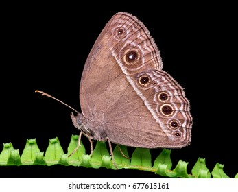 Closeup image of common bush brown butterfly - Mycalesis perseus.