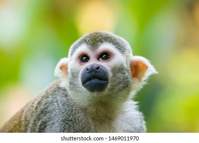 the closeup image of Common squirrel monkey.