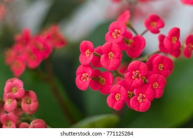 Closeup image of crown of thorns flowers (Euphorbia milii)