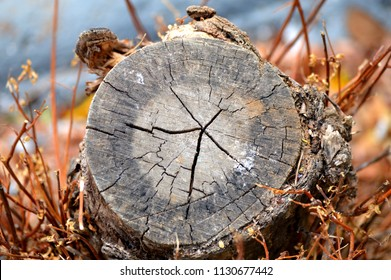 A closeup image of a cut tree trunk showing cracks, pith, xylem ring, phloem ring and bark.  Axing of trees is part of deforestation.