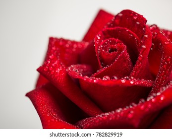 Close-up image of droplets on beautiful blooming red rose flower on white background, Selective focus and shallow DOF, Valentine day concept