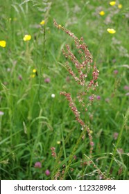 Closeup image of the English wildflower Dock (Rumex obtusifolius) in flower, with a backdrop of buttercups.