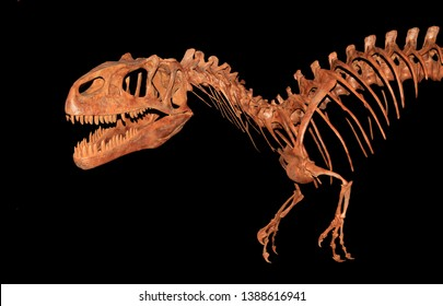 Closeup Image f an Allosaurus Skeleton Isolated on Black