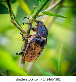 Close-up image of a female Rhinoceros Beetle in tropical forest in Costa Rica