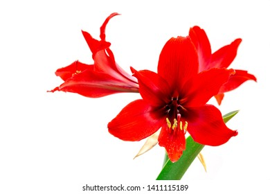 Closeup image of Fresh red Hippeastrum ,Amaryllis or Phonetic flower isolated on white background
