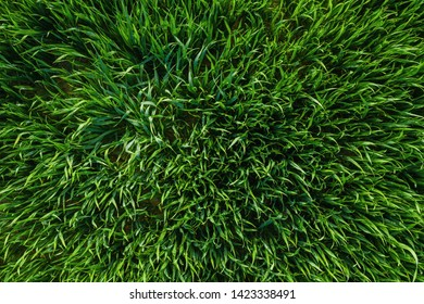Close-up image of fresh spring green grass or a wheat field, drone shot