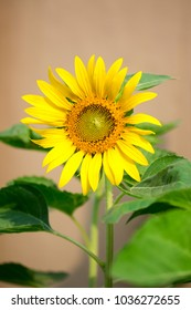 a closeup image of a fresh sunflower on a sunny day