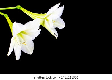Closeup image of Fresh white Hippeastrum ,Amaryllis or Phonetic flower isolated on dark background