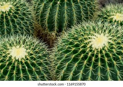 Closeup image of Golden barrel cactus (echinocactus grusonii) (Echinocactus)