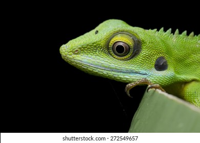 Close-up image of a green crested lizard
