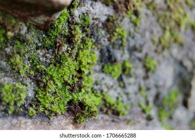 Closeup image of green moss (Bryophyta)