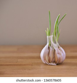 Close-up image with head of a garlic with homegrown green germinal sprouts on a wooden kitchen table with copy space. Symbolizing instinct for growth, transformation and new beginnings in business.