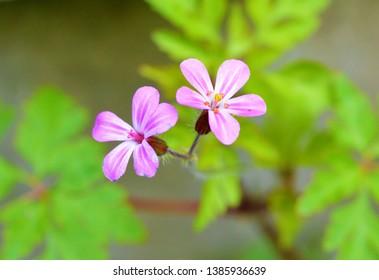 A close-up image of Herb-Robert (Geranium robertianum).