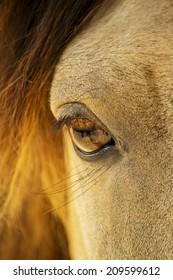 Closeup image of a horse eye.