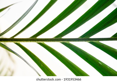 Closeup image of indoor palm leaf. Houseplant leaf palm on bright white background. Symmetry in nature.