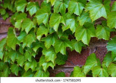 Close-up image of ivy leaves on a red brick wall backdrop