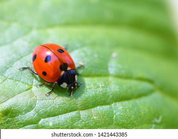 Close-up image of a Ladybird on a green leaf.