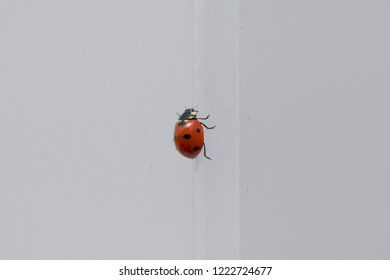 Closeup image of a ladybug (Coccinellidae) on a white wall.
