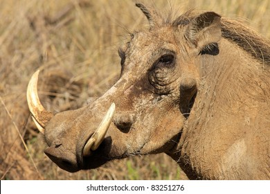 Close-up image of a large warthog in an African National Park