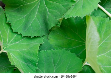 Close-up image of lush green fresh butterbur leaves.