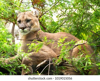 Closeup Image of a Mountain Lion Resting in a Cedar Tree