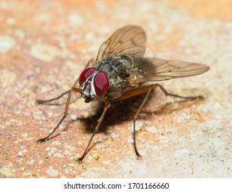 A Closeup Image of a Newly Hatched House Fly Musca Domestica on a Brick Wall