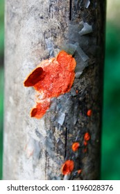 Closeup image of a orange colour mushroom / fungus growing on dead bamboo against a background of green foliage.A fungus ( fungi or funguses) is any member of the group of eukaryotic organisms.