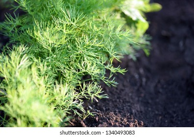 Closeup image of organic dill growing in a garden in a line with shallow depth of field