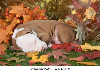 Closeup image of a pitbull puppy sleeping among colorful fall foliage.