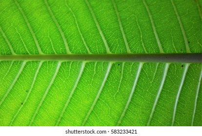 Closeup image of plumeria leaf. Can see clear texture of vein.